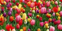 tulipán.jpg