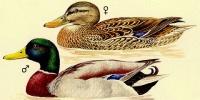 kachna-divoka.jpg